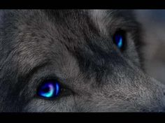 Black Wolf with Red Eyes | Blue Eyed Wolf - wolf, dogs, animals, eyes