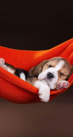 Sutileza... #Beagle