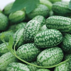 Melothria Scabra by RDR Seeds 15 Cucamelon Seeds Mouse Melon Mini Watermelon Mexican Sour Gherkin