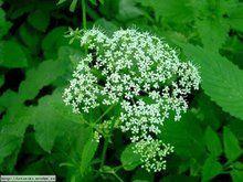 Herbář Wendys - Aegopodium podagraria - bršlice kozí noha Life Is Good, Detox, Herbs, Flowers, Witch, Gardens, Lifestyle, Outdoor Gardens, Life Is Beautiful