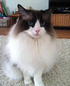 """West Hartford Animal Control Page Liked · August 10 · Edited ·    08/23/15: UPDATE: This cat was found!   08/07/15: Lost cat from Craigmoor Road in West Hartford, CT since Tuesday, 08/04/15. """"Henry"""" is a 17lb. Ragdoll, white with brown and blue eyes. He is an indoor cat that escaped his residence. He does not have a collar or microchip. Please contact West Hartford Animal Control with any information. Thank you.  West Hartford Animal Control West Hartford, CT 860-523-2018"""