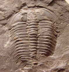 Name: Alokistocare charax  Order Ptychopariida, Superfamily Ptychparioidea, Family Alokistocaridae  Locality: northwestern Montana   Stratigraphy: Gordon Shale, Middle Cambrian