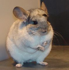 Chinchilla Food – 5 Tips for Feeding Your Chinchilla URL: http://chinchilla.co/chinchillas/ Fb fan Fb fan page: https://www.facebook.com/LoveChinchilla