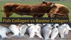 Bovine Collagen vs Marine or Fish Collagen - LORECENTRAL