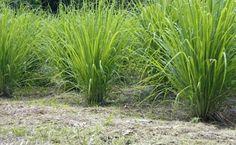 Lemon Grass to keep mosquitoes away