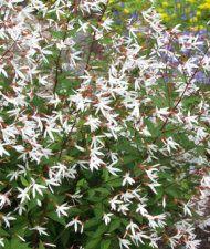 Gillenia trifoliata - perhoangervo