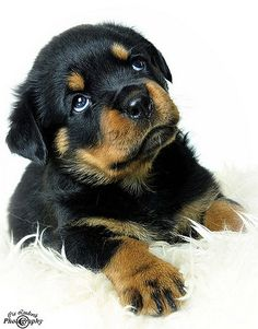 Rottweiler puppy, Amber | Cia Lindroth | Flickr