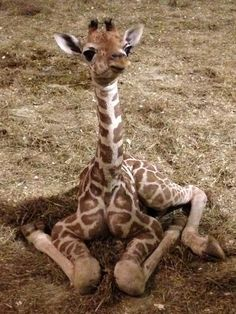 pictures of aprils' baby giraffe – – Yahoo Image Search Results – Vivien Mary Marshall - Baby Animals Giraffe Images, Giraffe Pictures, Cute Animal Pictures, Print Pictures, Baby Pictures, Cute Little Animals, Cute Funny Animals, Tier Wallpaper, Cute Giraffe