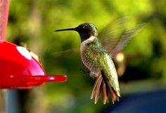 Humming Bird!   so fascinating! I have seen one almost everyday flying by my window each morning from May to Oct.