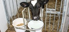 Care for your calf for good milk production