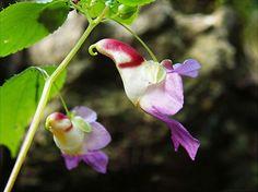 """Impatiens Psittacina noto come """"fiore pappagallo"""""""
