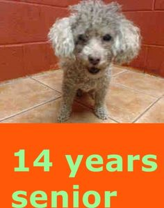 14 YEAR OLD POODLE NEEDS PLEDGES AND RESCUE! A4793076 My name is Nena and I'm an approximately 14 years, 6 month old female poodle stnd. I am already spayed. I have been at the Downey Animal Care Center since January 20, 2015. I will be available on February 1, 2015. You can visit me at my temporary home at D705. https://www.facebook.com/photo.php?fbid=800213093392358&set=pb.100002110236304.-2207520000.1421958598.&type=3&theater