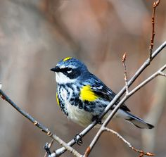 Yellow rump warbler-aka butter butts!  Waiting for our spring migration!  Had a lil sweetie last year....