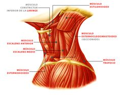 anatomia musculos del cuello - Buscar con Google