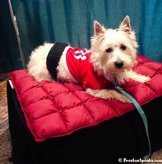 2013 St. Louis Pet Expo Amazing Pet Expos Coverage of from their Online Ambassador - Preston from PrestonSpeaks.com. #dog #westie #westhighlandwhiteterrier #amazingpetexpo