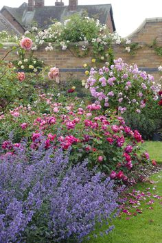 Lady of Megginch (Ausvolume) & Nepeta 'Kit Kat' ..David Austin Roses