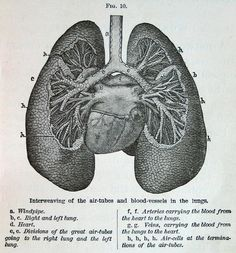 lungs, vintage anatomical illustration, from Physiology for Young People, 1884 (via cori kindred on Flickr)