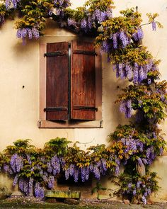 shuttered window and wisteria, Riquewihr, Haut-Rhin, Alsace, France