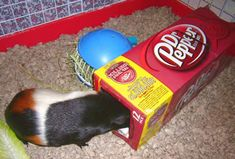 Pop boxes make a great piggie tunnel Diy Guinea Pig Toys, Guinea Pig Clothes, Pet Guinea Pigs, Guinea Pig Care, Woodworking Guide, Custom Woodworking, Baby Pigs, Homemade Toys, Diy Stuffed Animals