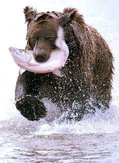 Costal Brown Bear