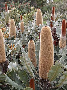 Banksia solandri Australian Native Garden, Australian Native Flowers, Australian Plants, Exotic Flowers, Pretty Flowers, Flower Games, Bush Garden, Hedging Plants, Screen Plants