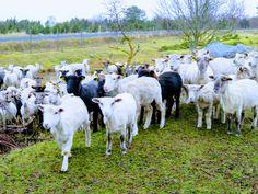Läänemaa lambad http://www.veeseire.ee/loodusblogi