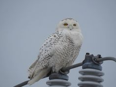 Snowy Owl charging its batteries [OC] Snowy Owl, Eagles, Owls, Birds, Amazing, Pictures, Animals, Photos, Animales