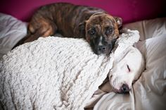 Such an amazing blog from a family who fosters pit breeds to show how loving and great dogs they can be for future families. I would love to do this!