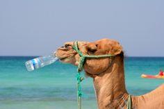 Къде складират течности камилите
