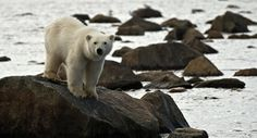 A young polar bear in Churchill, Manitoba, Canada.