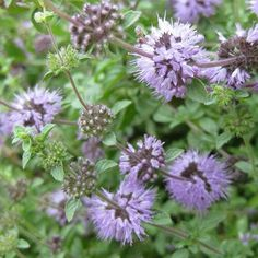 Image result for pennyroyal flower painting