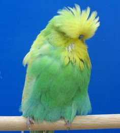 violet spangle budgie - Google Search