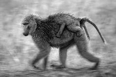 Monkey on my Back Photo by YARON SCHMID — National Geographic Your Shot