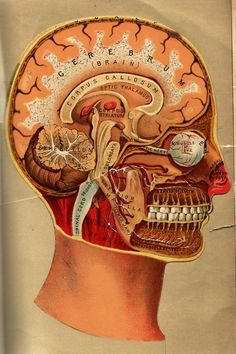 Morbid Anatomy: Anatomical Flipbook, L. Yaggy & James J. Brain Anatomy, Medical Anatomy, Anatomy Art, Anatomy And Physiology, Human Anatomy, Skull Anatomy, Craniosacral Therapy, Vintage Medical, Vintage Ads