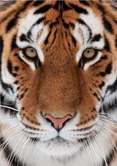 tiger beauty...