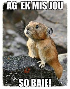 The north American pika. these adorable small mammals can be found in the northwestern United states and British Columbia, Canada. All Gods Creatures, Cute Creatures, Beautiful Creatures, Animals Beautiful, Cute Baby Animals, Animals And Pets, Funny Animals, Wild Animals, Baby Biber