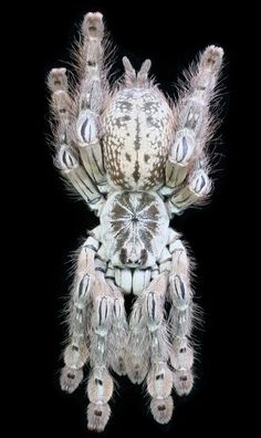 The West African Togo Starburst baboon spider, Heteroscodra maculate. Too bad they hide all the time. They are a beautiful species