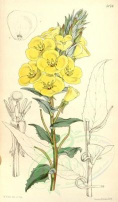 yellow_flowers-00104 - 5078-oenothera bistorta veitchiana, Twisted-fruited Oenothera Mr Veitch's variety [2023x3461]