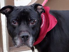 Lovables: Manhattan Ctr P GRANDPA  #A0984485  Male blk & wht pit bull mix  STRAY11/8/13  Clearly an athlete in his younger years, SENIOR ALERT!!! 8 YRS The stamina to walk for hours. Likely house trained, easy to manage on leash. An inquisitive mind of his own, loves being outdoors, hates going back to kennel! Grandpa would make a great addition to a loving family looking for a spirited oldster who's ready for action, adventure, and his daily afternoon nap!