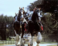 clydsdale wallpaper | Budweiser Clydesdale Horses - Pixdaus