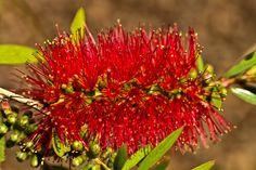 Bottle Brush Plant - Bill Barber Photo