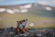 Amazing Photos of Wild Arctic Animals Arctic Tundra, Arctic Fox, Arctic Animals, Cute Animals, Beautiful Creatures, Animals Beautiful, Fabulous Fox, Foxes Photography, Red Fox