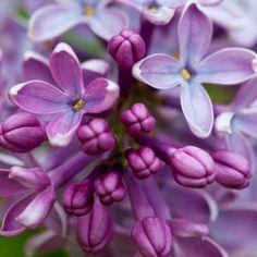 Closeup of Common Lilac (Syringa Vulgaris) Photographic Print by Ed Reschke a. Beach Wedding Flowers, Flower Bouquet Wedding, My Flower, Flower Pots, Cactus Flower, Amazing Flowers, Beautiful Flowers, Syringa Vulgaris, Sugar Flowers