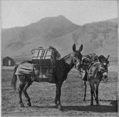 Image result for Mules in the Andes