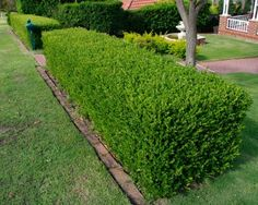 HEDGING Buxus sempervirens: A dense, evergreen shrub that can grow to 6 metres plus but most commonly seen in gardens up to 2 metres and trimmed to topiary shapes or as a low hedge.  It is grown for its small, tight, glossy foliage and bushy habit making excellent edging, hedging or for featured topiary.  Very popular and extremely easy to grow and maintain they will adapt to most conditions wether sunny or shady, wet or dry.