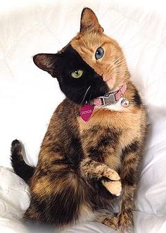 meet venus the chimera cat with two faces today
