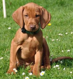 Viszla puppy, so cuteee... why can I not stop looking up dogs??