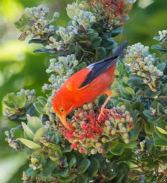 The most popular and recognizable Hawaiian honeycreeper -- on the cover of every book about Hawaiian birds -- is the relatively abundant i'iwi.
