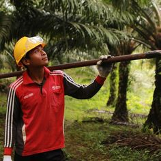 Each oil palm tree is harvested every ten days because different fresh fruit bunches ripen at different times and timing is everything when it comes to harvesting the best quality fruits. Suranto shares at http://ift.tt/2zhrEyt (link in profile) for more #meetthemakers #everydayGAR #sustainability #palmoil