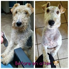 Ready for summer - Oreo Chien Fox Terrier, Fox Terriers, Wire Fox Terrier, Third Baby, My Animal, Beagle, Oreo, Babies, Pets